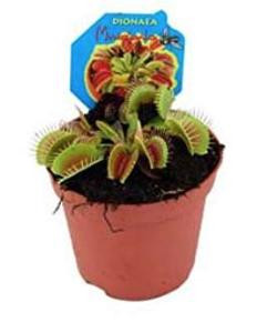 Fleischfressende Pflanze Dionaea gegen kleine Fliegen