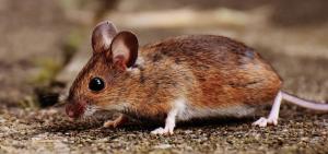 Maus vertreiben im Garten