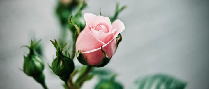 Rose pflegen Checkliste