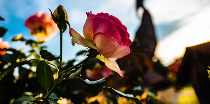 Rosen pflegen leicht gemacht