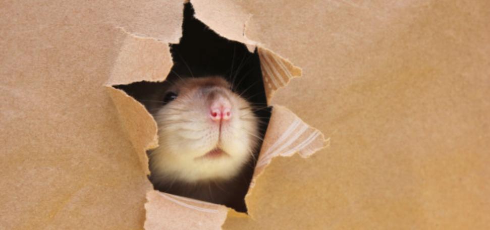 Mäuse eindringen