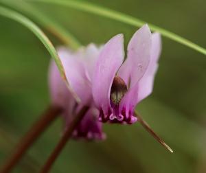 Alpenveilchen Pflanze für Schatten