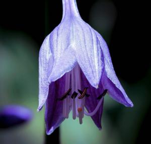 Funkien: Pflanzen für den Schatten