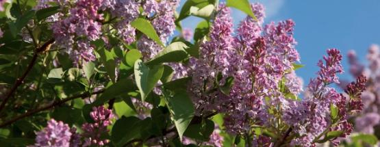 Flieder Frühlingsblumen