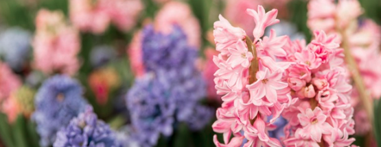 Frühlingsblume Hyazinthe