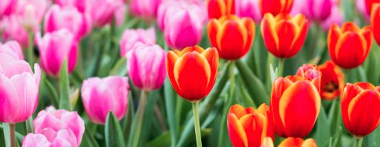Narzissen Frühlingsblume