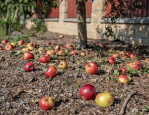 Verfaulendes Obst entfernen gegen Wespen im Dach