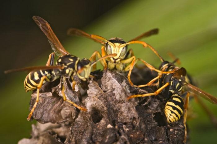 Nahaufnahme von Wespen