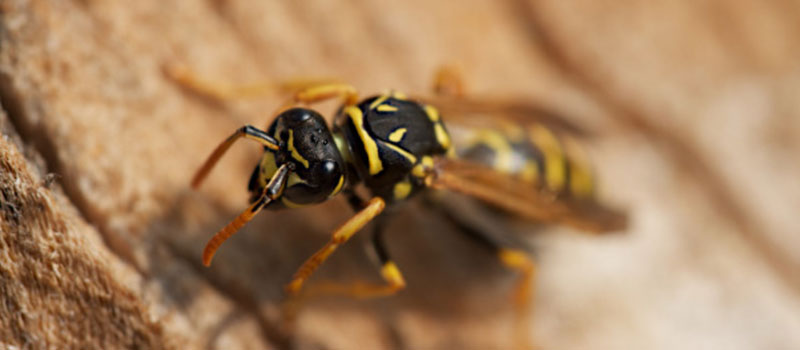 Wespenfrei mit Mittel gegen Wespen im Dach
